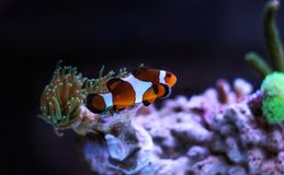Most popular fish are more and more interesting to have and enjoy in them in our aquariums. Real nemo in coral reef aquarium tank royalty free stock photo