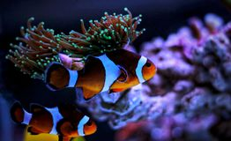 Most popular fish are more and more interesting to have and enjoy in them in our aquariums Stock Image