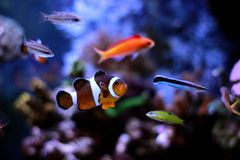 Most popular fish are more and more interesting to have and enjoy in them in our aquariums. Real nemo in coral reef aquarium tank stock photo