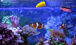 Most popular fish are more and more interesting to have and enjoy in them in our aquariums. Real nemo in coral reef aquarium tank stock images