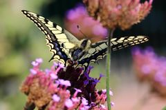 The most spectacular moths in Europe is Papilio machaon of the Queen`s page Stock Image