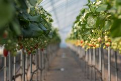A closeups shot of two rows of strawberry plants. Most of the strawberries in this photo aren`t riped yet royalty free stock photo