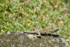 Most Thai lizard Stock Photo