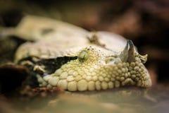 Gambian Viper venomous snake close up Royalty Free Stock Photo