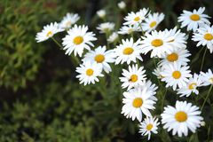 The most widespread flower in any garden - a camomile. The most widespread flower in any garden - a camomile, white flowers with a yellow core against the royalty free stock photography