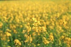 A mostarda floresce na flor cheia em campos da mostarda Foto de Stock