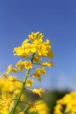 A mostarda floresce o close up Fotografia de Stock