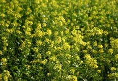 Mostarda na flor fotografia de stock royalty free
