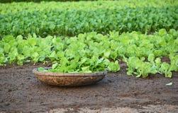 Mostarda verde Imagens de Stock