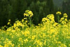 Mostaza amarilla Foto de archivo libre de regalías