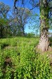 Mostaza de ajo en bosque del roble Imagen de archivo