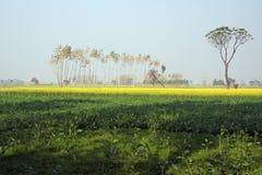 Mosterd die in Uttar Pradesh India bewerkt Stock Fotografie