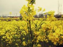 Mosterd Gele Bloemen Stock Foto's