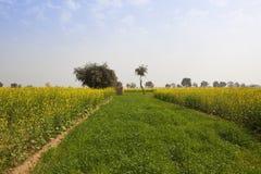 Mosterdgewassen in Rajasthan stock afbeeldingen