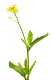 Mosterdinstallatie en bloemen Stock Afbeeldingen