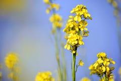 Mosterdinstallatie met bloemen vage achtergrond Royalty-vrije Stock Afbeeldingen