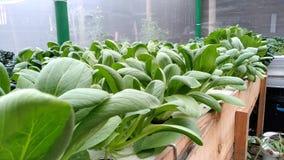 Mosterdpakcoi wordt gekweekt met een hydroponic systeem royalty-vrije stock afbeeldingen