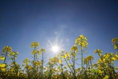 Mosterdzaden tegen de zon royalty-vrije stock foto's
