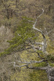 Mostly Barren Tree In Spring Royalty Free Stock Photography