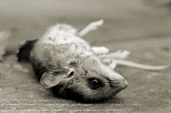 Mostly Dead Mouse Royalty Free Stock Photography