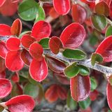 Mostly turned. Leaves on a bush have mostly turned to beautiful fall red and are mixed in with green leaves that have not turned yet royalty free stock image