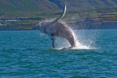Mostra da baleia Imagem de Stock
