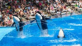 Mostra das baleias de assassino Fotografia de Stock