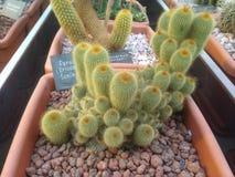 Mostra dei succulenti (cactus) in un giardino botanico Fotografie Stock Libere da Diritti