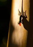 Mostra del Anolis al tramonto Fotografie Stock Libere da Diritti