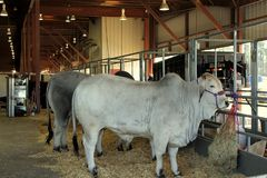 Mostra del bestiame fotografia stock