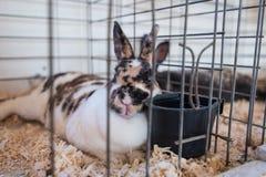 Mostra del coniglio Immagini Stock Libere da Diritti