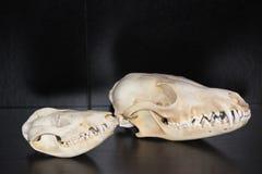 Mostra del cranio Immagine Stock