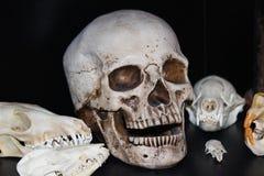 Mostra del cranio Immagini Stock