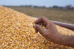 Mostra del seme del mais Fotografia Stock Libera da Diritti