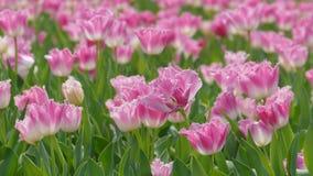 2019 mostra del tulipano della residenza principale di Shilin, Taipei, Taiwan stock footage