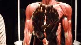 Mostra di anatomia del corpo umano VARSAVIA, POLONIA, il 15 febbraio 2018 video d archivio