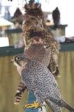 Mostra di caccia col falcone Fotografia Stock