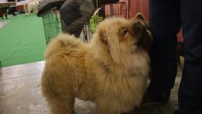 Mostra di razza del cane, feds attenti Chow Chow del proprietario un ossequio, animale domestico adorabile stock footage