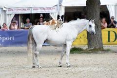 Mostra do adestramento do cavalo Imagens de Stock