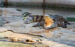 Mostra do crocodilo em Tailândia Foto de Stock