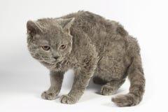 Mostra do gato Imagens de Stock Royalty Free