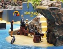 Mostra do leão-marinho Imagem de Stock