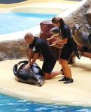 Mostra do leão-marinho Fotografia de Stock