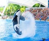 Mostra do oceano da orca Fotografia de Stock