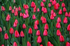Mostra do Tulip Fotos de Stock