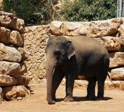 Mostra dos elefantes Foto de Stock Royalty Free