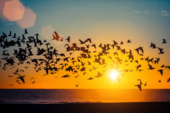 Mostra em silhueta o rebanho das gaivotas sobre o oceano durante o por do sol nave Fotos de Stock
