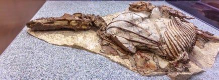 Mostra fossile nel museo reale di Tyrrell Immagini Stock Libere da Diritti