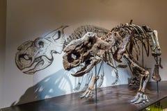 Mostra fossile nel museo reale di Tyrrell Fotografia Stock Libera da Diritti