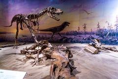 Mostra fossile nel museo reale di Tyrrell Fotografia Stock